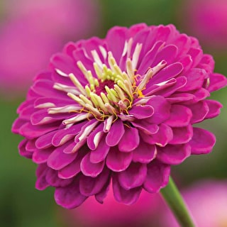 Zinnia elegans 'Benary's Giant Purple'