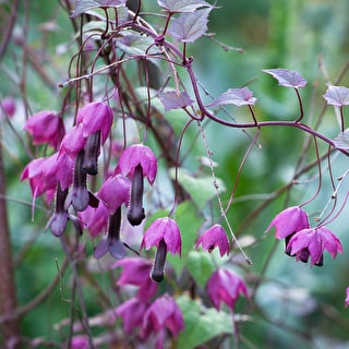 Rhodochiton atrosanguineus (Purple Bells)