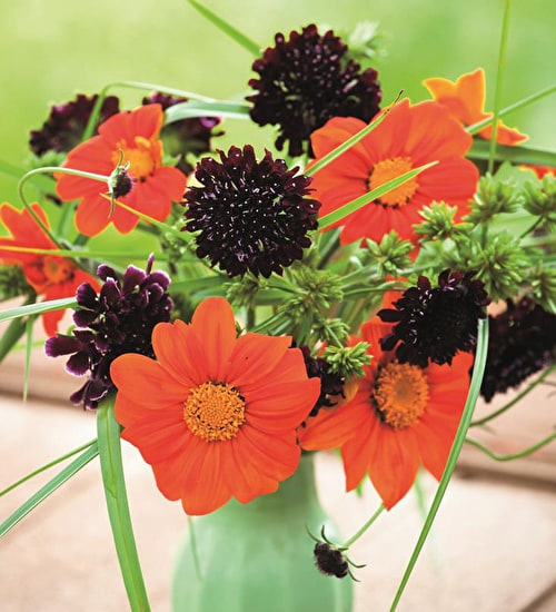Tithonia and Scabious SPECIAL OFFER