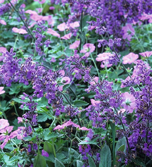 Nepeta and Geranium Collection