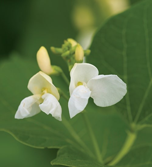 Runner Bean 'White Lady'