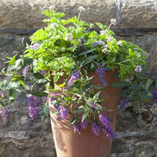 Scented Purple Pot Collection