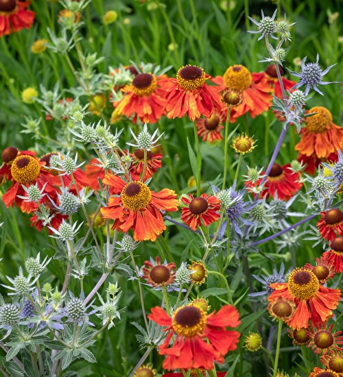 Grow Together: Helenium and Eryngium