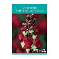 Antirrhinum 'Night and Day'