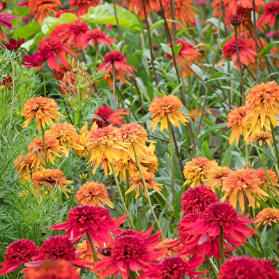 Summer Salsa Echinacea Collection