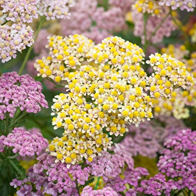 Long Lasting Perennial Seeds From 195 Sarah Raven