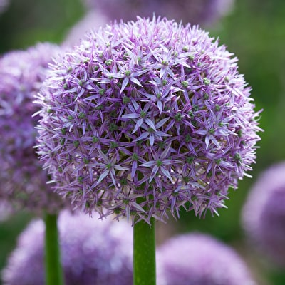 Allium 'Beau Regard'