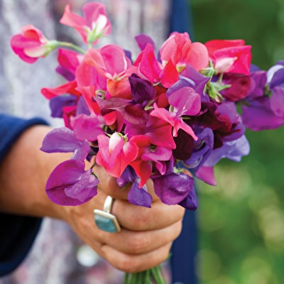 Harlequin Sweet Pea Mix