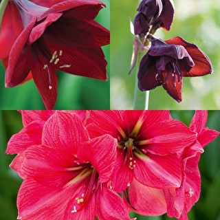 Christmas Amaryllis Collection