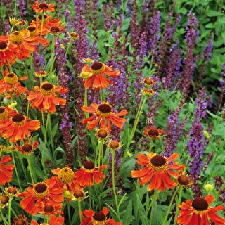 Perfect Pair - Helenium and Salvia