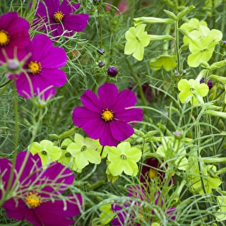 Cosmos and Nicotiana Collection