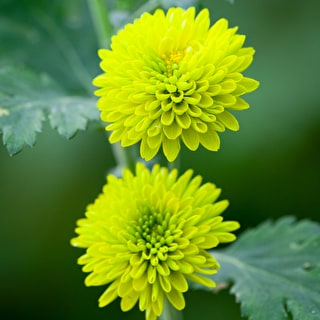 Chrysanthemum 'Celtic Green'