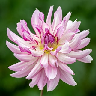 Dahlia 'Leila Savanna Rose'