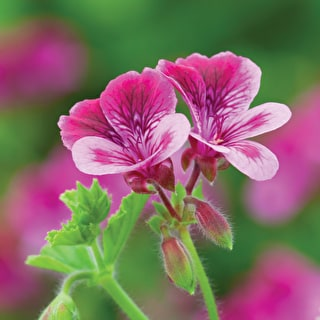 Pelargonium 'Cottenham Wonder'