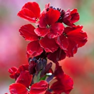 Wallflower cheiri 'Sunset Red'