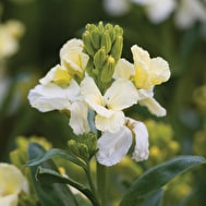 Wallflower cheiri 'Ivory White'