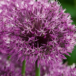 Allium 'Early Emperor'