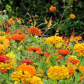 Mexican Meadow Mix