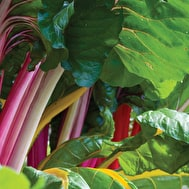 Chard 'Bright Lights'