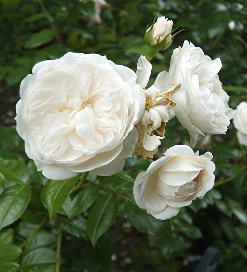 Rose 'Macmillan Nurse'