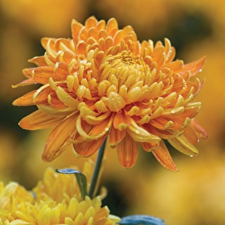 Apricot Sorbet Chrysanths Collection