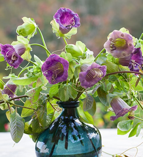 Cobaea scandens 'Purple'