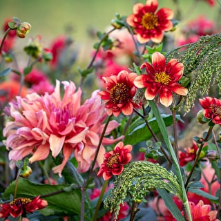 Watermelon Sorbet Dahlia Collection