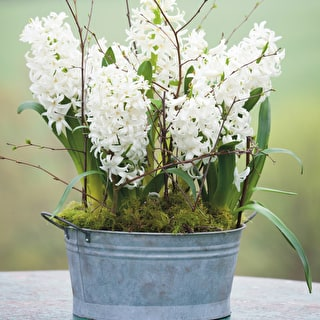Hyacinth 'White Pearl' and Zinc Bowl Collection
