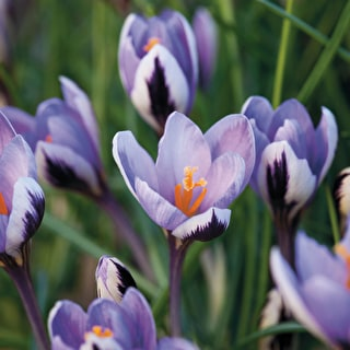 Crocus chrysanthus 'Spring Beauty'