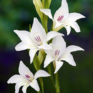 Gladiolus colvillei 'The Bride'