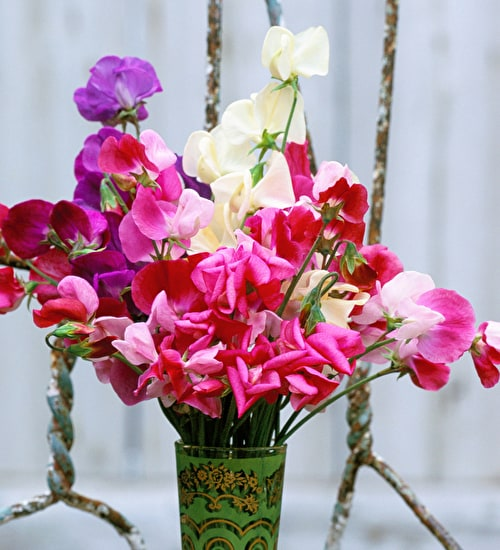 Strawberries and Cream Sweet Pea Collection