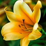 Lily 'African Queen'