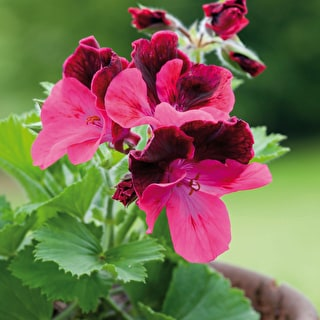 Pelargonium 'King Edmund'