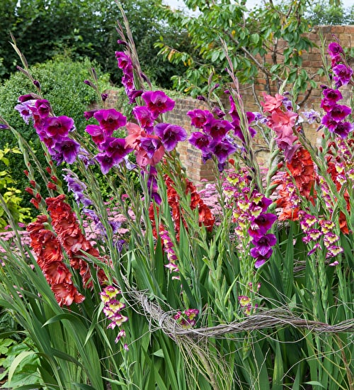 Jewel Gladioli Collection