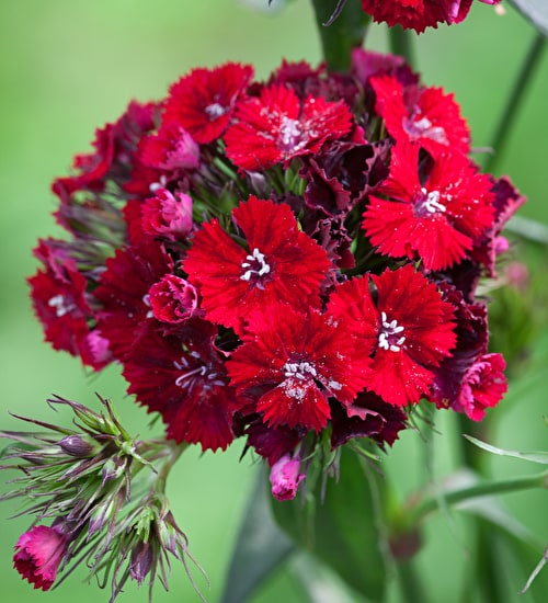 Dianthus 'Sweet Red'