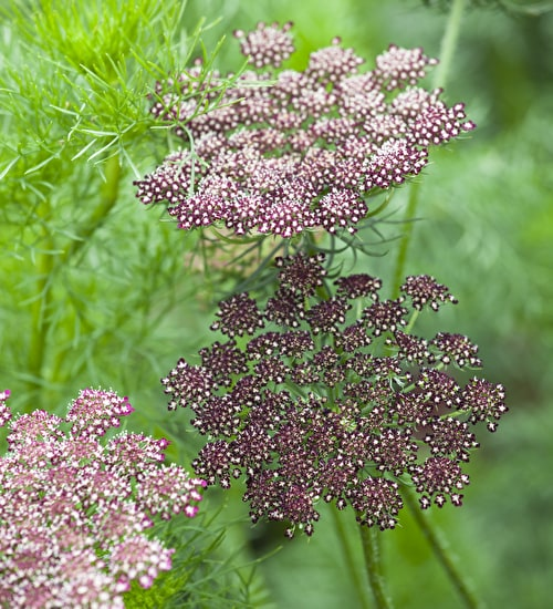 Daucus carota 'Purple Kisses' Mix