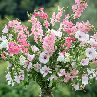 Antirrhinum majus 'Chantilly White' F1