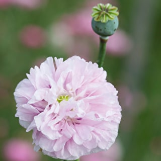 Papaver somniferum 'Candy Floss'