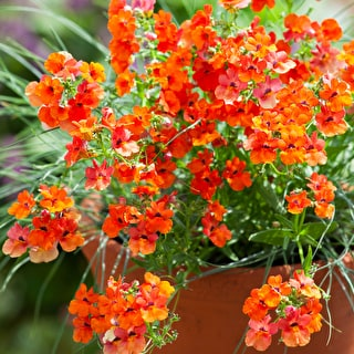 Nemesia 'Lyric Orange'