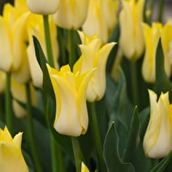 Ivory and Primrose Tulip Collection