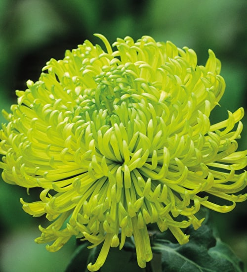 Chrysanthemum 'Shamrock Green'