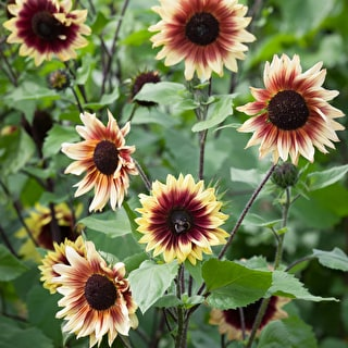 Helianthus annuus 'Magic Roundabout F1'