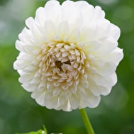 Alabaster Dahlia Collection