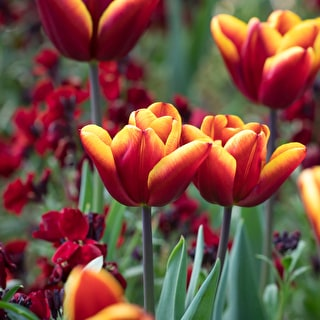 Tulip 'Abu Hassan' and Wallflower 'Sunset Red'