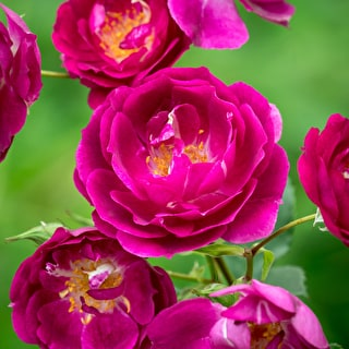 Rose 'Royal Celebration'