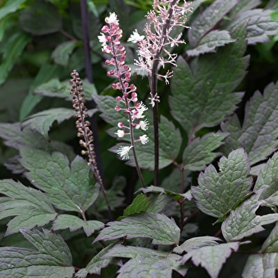 Actaea 'Pink Spire'