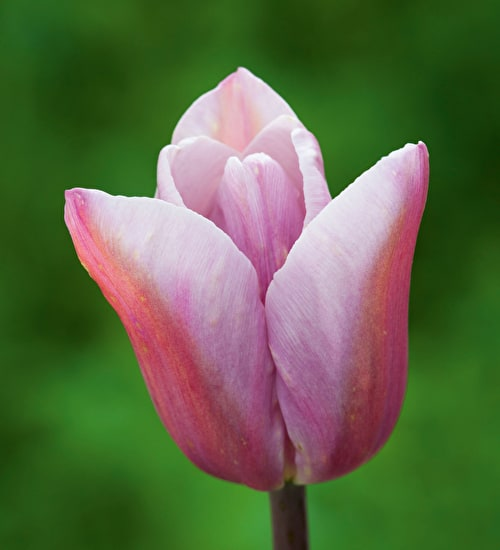 Tulip 'Mistress Grey'