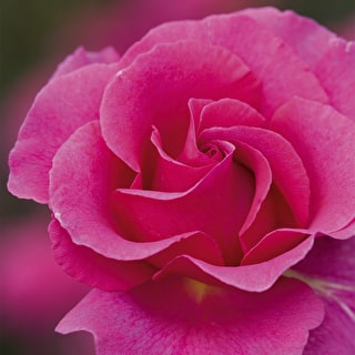 Rose 'Princess Alexandra'