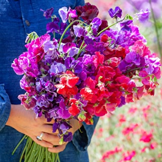 Sweet Pea 'Henry Thomas'
