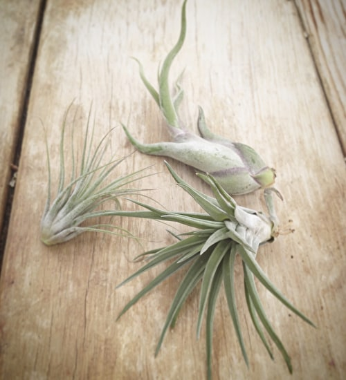 Airplant Mix
